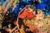 image of grouper  - Coral Grouper on a coral encrusted underwater ship wreck - JPG