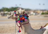 foto of dromedaries  - Closeup of dromedary camel head with ornate colorful bridle harness - JPG