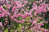 stock photo of sakura  - Branch with pink sakura blossoms or Sakura pink  - JPG