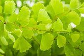 foto of fern  - Black Maidenhair fern branch  - JPG