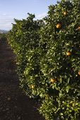 picture of valencia-orange  - Fields of agriculture in the Mediterranean region of maestazgo in the Valencian community - JPG