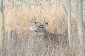 pic of buck  - Whitetail Deer Buck standing in a woods - JPG
