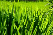 picture of photosynthesis  - bright grass leaves lush green in garden - JPG