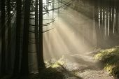 foto of coniferous forest  - Coniferous forest surrounded by dense fog at sunrise - JPG