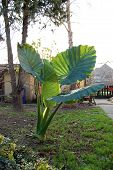picture of elephant ear  - Elephant ear plant  - JPG