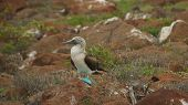 foto of booby  - The blue-footed booby is a marine bird in the family Sulidae, which includes ten species of long-winged seabirds.