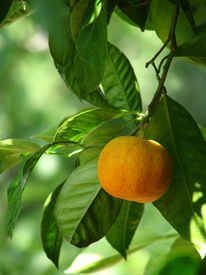 pic of mandarin orange  - The ripe orange mandarin on the tree - JPG