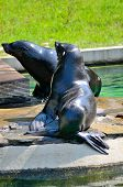 picture of sea lion  - Two sea lions awaiting for food from their guardian in Wroclaw - JPG