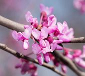 image of judas tree  - Closeup of Eastern Redbud tree - JPG