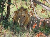 stock photo of marshes  - a lion resting at the Savuti Marsh area in the Chobe National Park in Botswana Africa - JPG