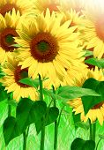 picture of sunflower  - Sunflowers, summer season, field with sunflowers, detail ** Note: Shallow depth of field - JPG