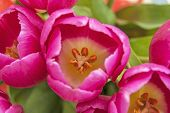 picture of vulva  - Close up of pink tulips with focus emphasized on the pollen - JPG