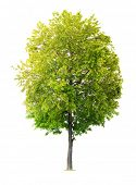 pic of linden-tree  - Isolated Linden tree - JPG