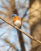 stock photo of bluebird  - Eastern Bluebird waiting for a meal sitting on limb - JPG