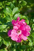 foto of dog-rose  - Dog roses in warm sunny summer day - JPG