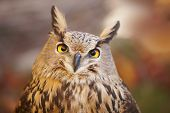 foto of owl eyes  - Owl with yellow eyes and warm background in Spain - JPG