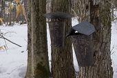 stock photo of maple syrup  - Buckets hanging on trees collecting sap for maple syrup - JPG