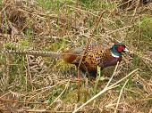 picture of pheasant  - Wild pheasant roaming about in a field during the spring - JPG