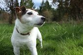 image of jack russell terrier  - Mindy - JPG
