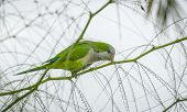 image of parakeet  - One of many Monk Parakeets inhabiting the local areas along the coast of Spain - JPG