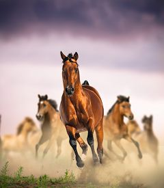 foto of fillies  - wild horses group running in dust against the purple sunset skies - JPG