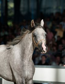 picture of fillies  - Young gray arabian filly running on a show close up - JPG