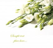picture of tuberose  -  delicate flower on a white background - JPG