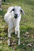 Domestic Goat poster