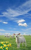 pic of mustering  - cute little lambs on fresh green meadow with yellow flowers - JPG