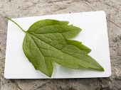 picture of chloroplast  - The green leaf on a white background of a card - JPG