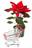 Closeup Poinsettia Flower With Sopping Cart