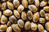 Macro Detail Of Marijuana Seed. Close Up. Hemp Seeds Background In Macro. Many Cannabis Seeds. Organ poster