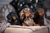 dachshunds three colorful dogs poster