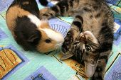 stock photo of guinea pig  - guinea pig and kitten playing - JPG