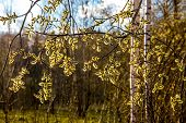 Spring Nature Background With Pussy Willow Branches. Rural Landscape In Latvia. Pussy-willow At Road poster