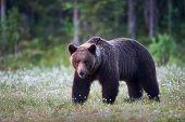 Brown Bear Walking Free In The Finnish Taiga poster