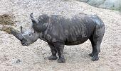White Rhino Standing On Wet Sand - Wet Of Rain poster