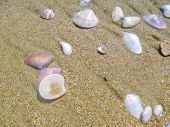 Small Shells Of Mollusks Thrown From The Sea Water On The Beach Sand. Shells Shimmer With Mother Of  poster