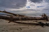 Old Tree Laying On The Beach In New Zealand, Dead Tree On The Beach, Dead Tree In Front Of The Ocean poster