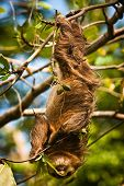 Cute Sloth Lazy Licking Leaves On The Tree In Costarica poster