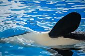 Close Up Of A Flipper Of An Orca, A Killer Whale poster