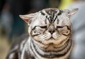 Very Sad American Shorthair Cat Shaded Silvers Tabby Portrait Close-up poster
