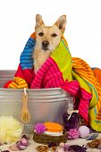 stock photo of bathtime  - Cute little golden terrier dog drying off after a bath sitting in the metal tub draped in a colorful towel and surrounded by bathing accessories - JPG