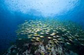 foto of coral reefs  - School of tropical fish over a reef in the Gulf of - JPG
