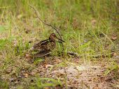 stock photo of snipe  - Snipe Gallinago media on a green grass - JPG