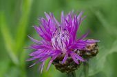 Creeping Thistle Flower