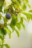 Purple Plum Growing On Tree. Natural Products.