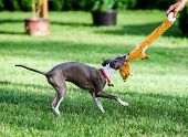 picture of greyhounds  - Italian Greyhound playing in countryside park Poland - JPG