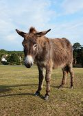 foto of donkey  - New Forest donkey stands unafraid of visitors in Lyndhurst Hampshire - JPG