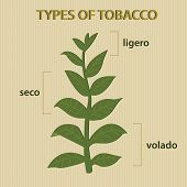 pic of tobacco leaf  - illustration of different types of tobacco depending on the leaves of plant - JPG